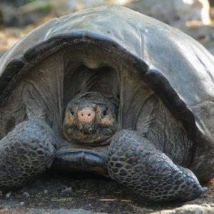 Откриха гигантска костенурка, смятана за изчезнала от повече от век