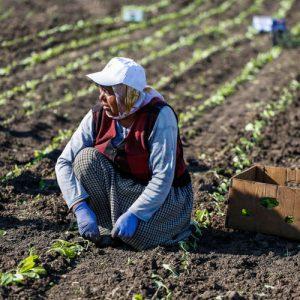 """Тютюни """"Басми"""", """"Каба Кулак"""" и """"Бърлей"""" реколта 2021 разсадени на 100%, Виржиния – 78%"""