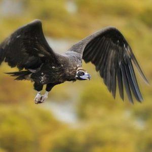 Фондът за дива флора и фауна сигнализира за изчезнал черен лешояд